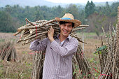 Male farmer standing and shoulder  tapioca limb that cut the stack together in the cassava farm.