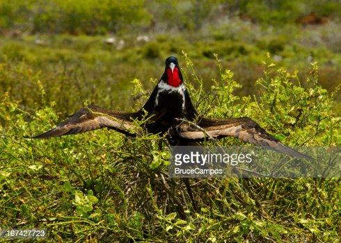 Fragata macho pájaro secado al sol : Foto de stock