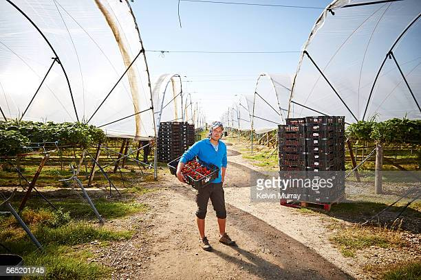 Male fruit picker poses between farm poly tunnels