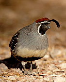 Male Gambel's Quail (Callipepla gambelii), Henderson Bird Viewing Preserve, Henderson, Nevada, United States of America, North America