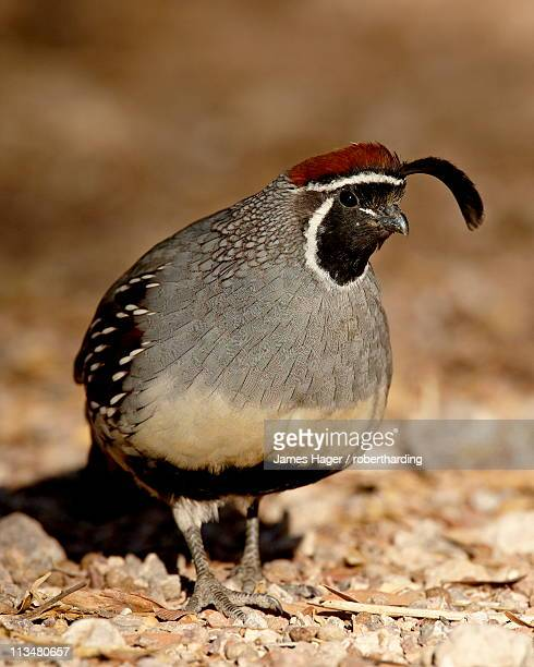 Male Gambel's Quail (Callipepla gambelii), Henderson Bird Viewing Preserve, Henderson, Nevada, United States of America, North America