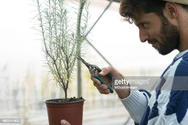 Male gardener working in greenhouse.