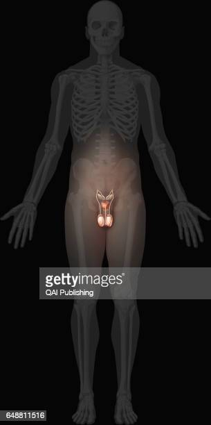 Male genital organs The genital organs that make up the male reproductive system ensure the sexual and endocrine functions Some are located outside...