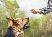 The trained German Shepherd performs the exercise.
