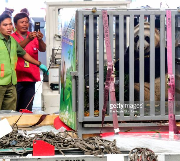 Male giant panda Cai Tao is seen on arrival at SoekarnoHatta International Airport on September 28 2017 in Jakarta Indonesia The two panda loaned...