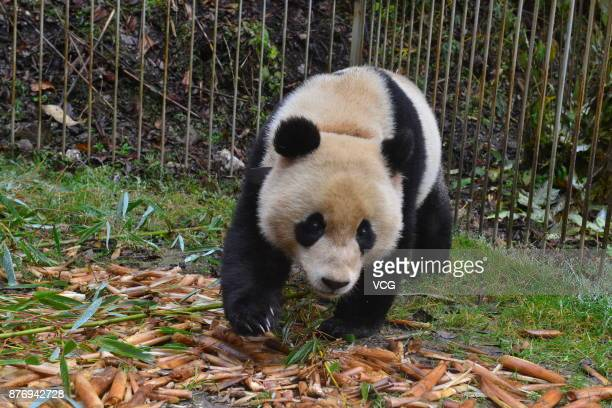Male giant panda named 'Ba Xi' undergoes survival training in the wild and will be released into the Sichuan Liziping National Nature Reserve on...