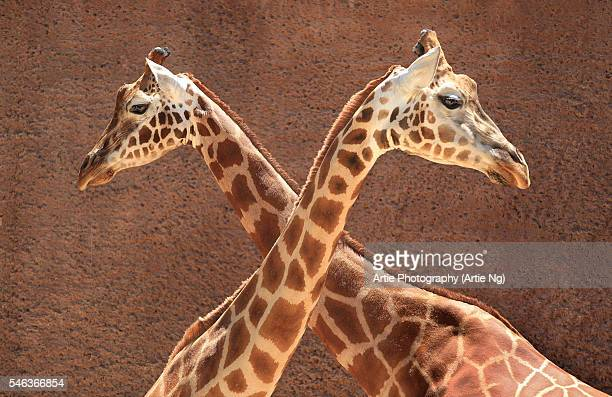 2 Male Giraffes Engaging in Necking