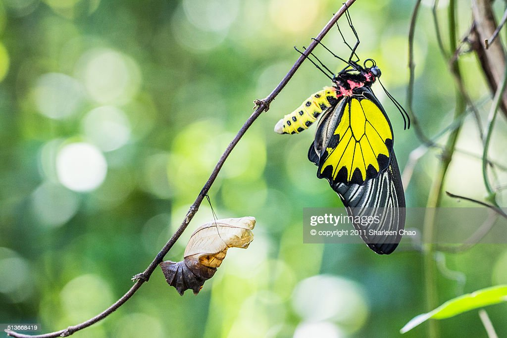 Male Golden Birdwing Eclosion