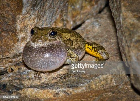 Male Gray Tree Frog (Hyla versicolor)
