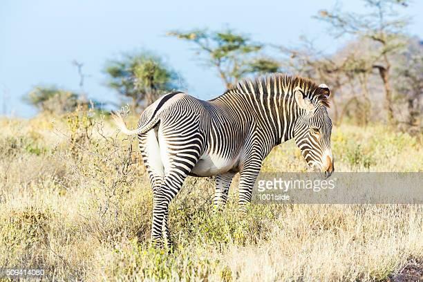 Male Grevy's Zebra