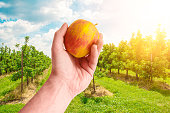 male hand holding an apple against lush green orchard with small apple trees