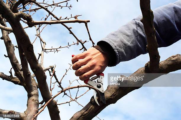 Male hand holding scissors and cut a branch