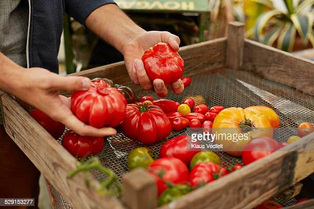 Male hands sorting out tomatoes