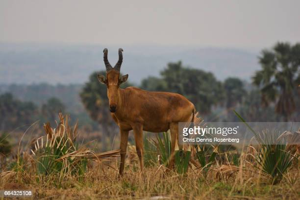 A Male Hartebeest In The Savannah.