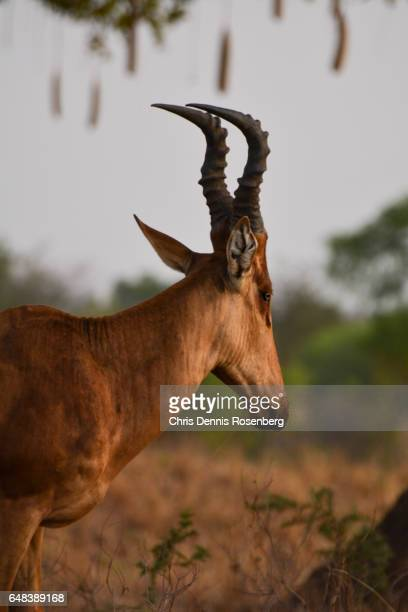 A Male Hartebeest.