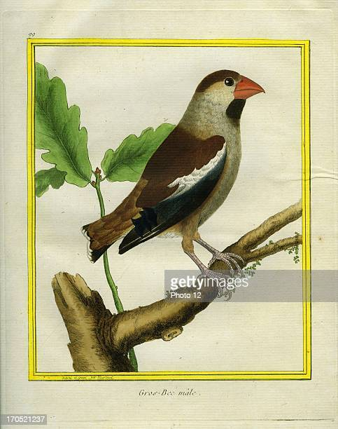 Male Hawfinch Coccothraustes coccothraustesMale HawfinchGeorgesLouis Leclerc Comte of Buffon 'Natural History of birds fish insects and reptiles'...