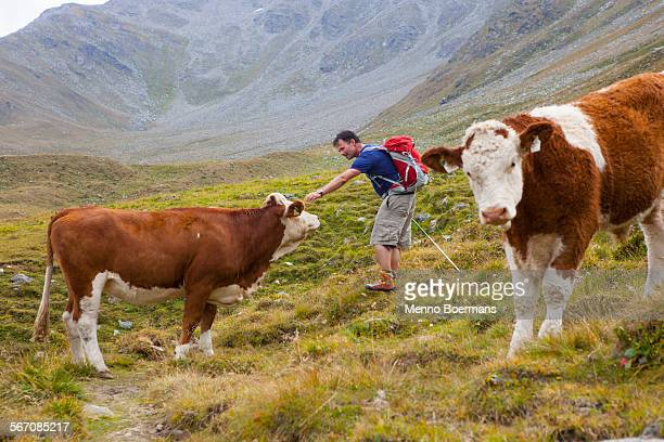 A male hiker pets a cow during the Glocknerrunde, a 7 stage trekking from Kaprun to Kals around the Grossglockner, the highest mountain of Austria.