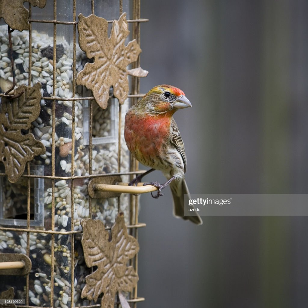 Male House Finch Sitting on Bird Feeder : Stock Photo