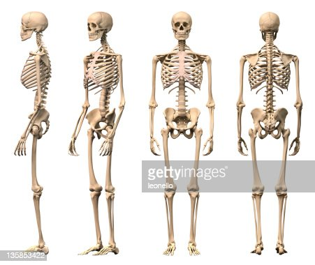 male human skeleton four views front backside and perspective, Skeleton