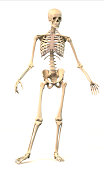 Male Human skeleton, extremely detailed and scientifically correct, in dynamic posture, front view. On white background, clipping path included. Anatomy image.