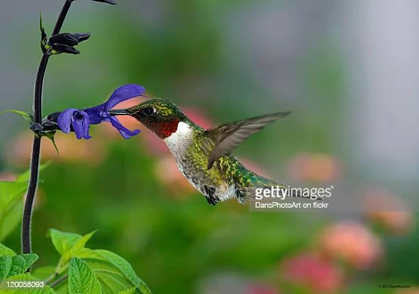 Male Hummingbird feeding on salvia
