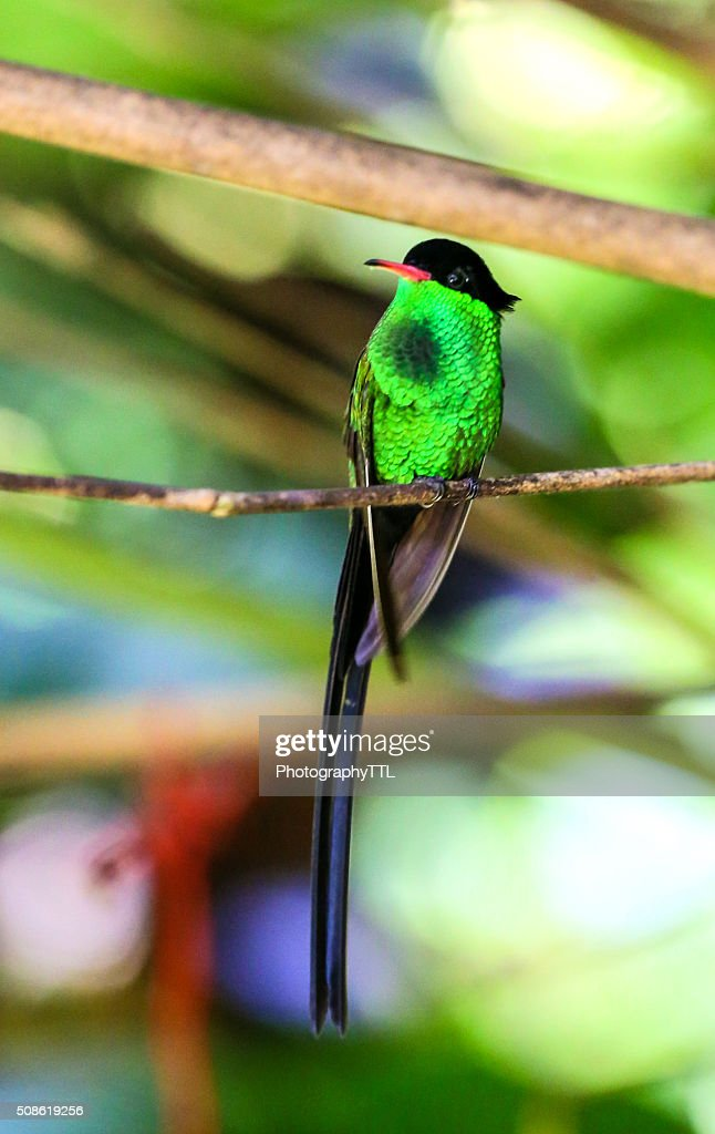 Male hummingbird perching on a branch with bright green chest. : Stock Photo