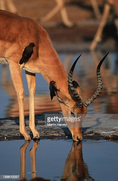 Male impala, Aepyceros melampus, drinking at waterhole with red-billed oxpeckers. Southern & Eastern Africa.