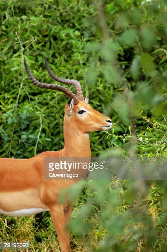 Male Impala (Aepyceros melampus) in a forest, Chobe National Park, Botswana : Stock Photo