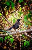 Male indian robin bird