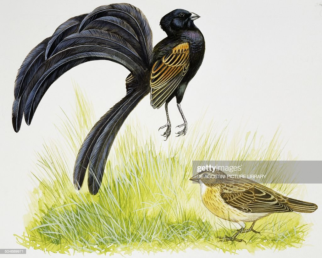 Male Jackson's Widowbird during courtship display in front of the female, jumping and throwing his head back, drawing.