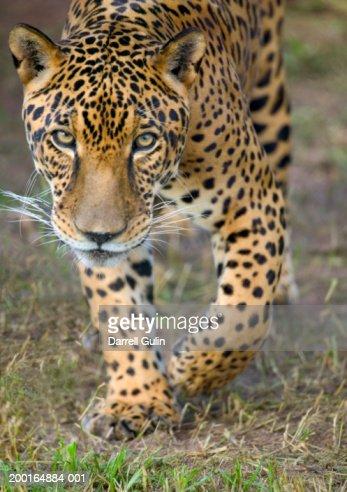 Male jaguar (Panthera onca) walking across grass (focus on face) : Stock Photo
