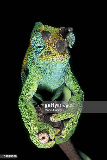 Male Johnstons Chameleon, Chamaeleo johnstoni, Central African highlands; only the male has horns