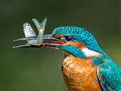 Male Kingfisher with Minnow