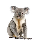 Portrait of male Koala bear, Phascolarctos cinereus, 3 years old, in front of white background, studio shot.