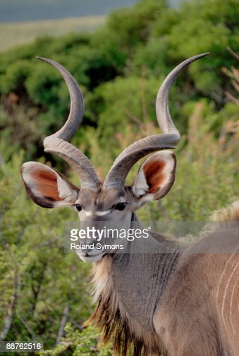 Male kudu (Tragelaphus strepsiceros), South Africa