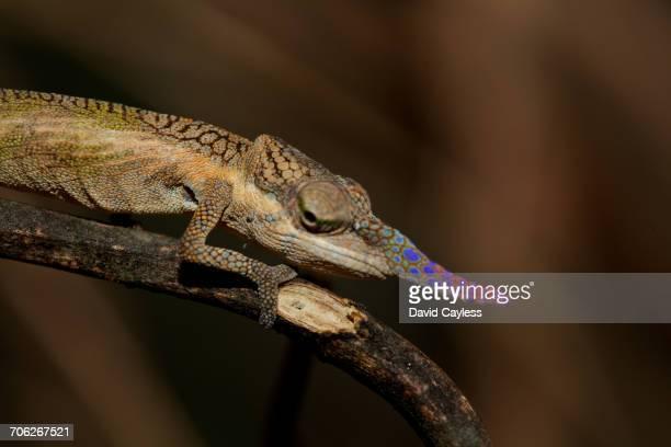 Male Lance-nosed chameleon.