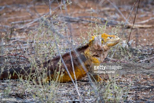 A male Land iguana at Cerro Dragon on the west coast of Santa Cruz Island Galapagos Islands Ecuador