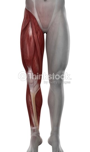 Male Leg Muscles Anatomy Isolated Stock Photo Thinkstock