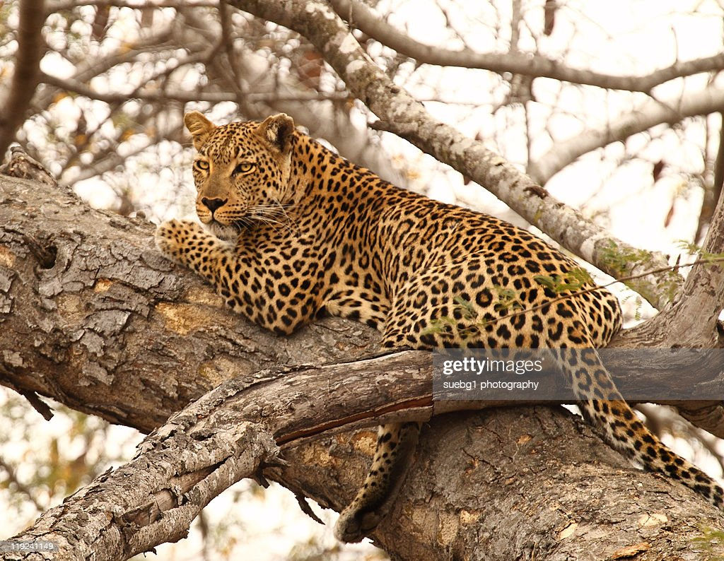Male leopard in tree,   Kruger National Park : Stock Photo