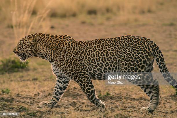 Male leopard on the prowl