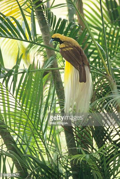 Male lesser bird of paradise perched in a palm tree Paradisaea minor Native to rainforest of Papua New Guinea and Irian Jaya Jurong BirdPark...