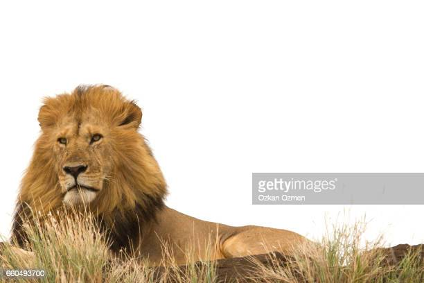 Male lion against white background