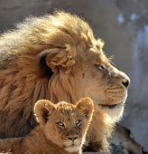 Mail Lion and cub relaxing in the sun.