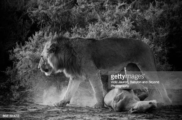 Male Lion and Lioness After Mating in Samburu, Kenya