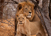 Male and Female lion in South Africa.