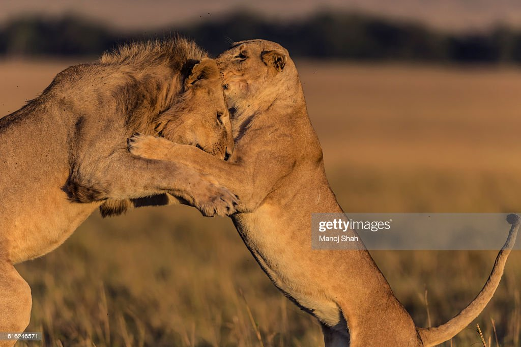 Male lion and lioness playing : Foto de stock