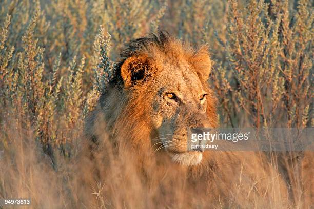 Male Lion at Sunset