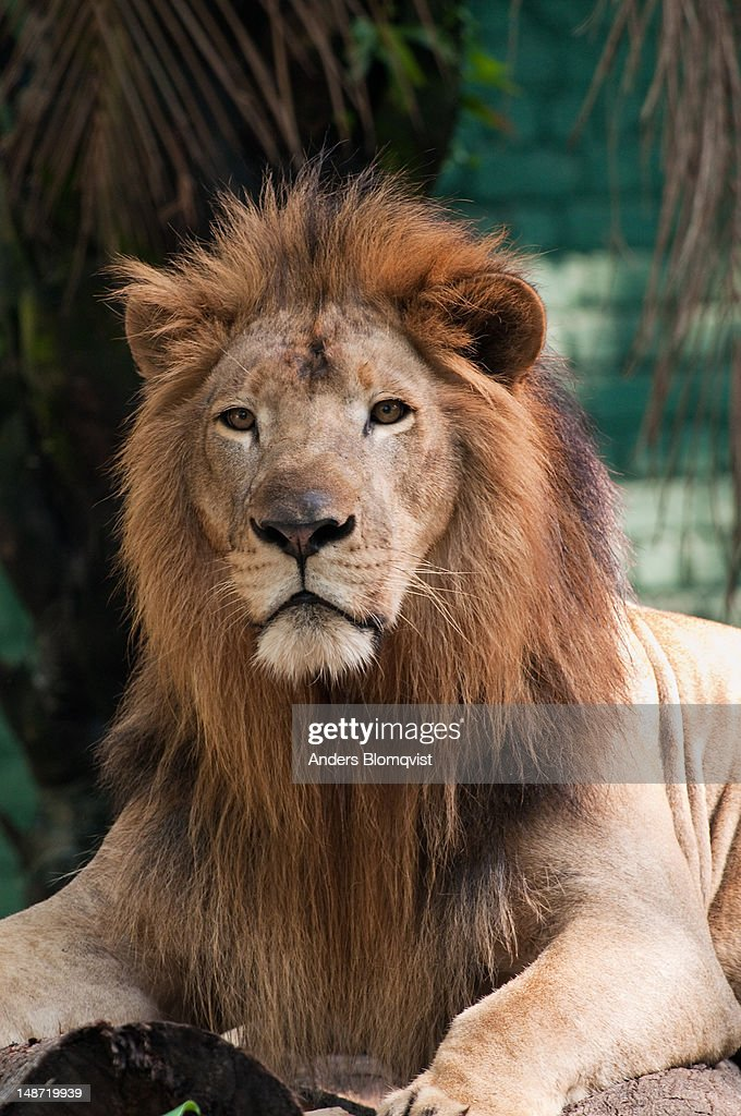 Male lion (Panthera leo) at Zoo Negara. : Stock Photo