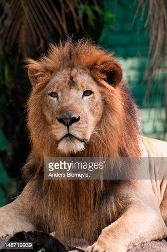 Male lion (Panthera leo) at Zoo Negara. : Stock Photo