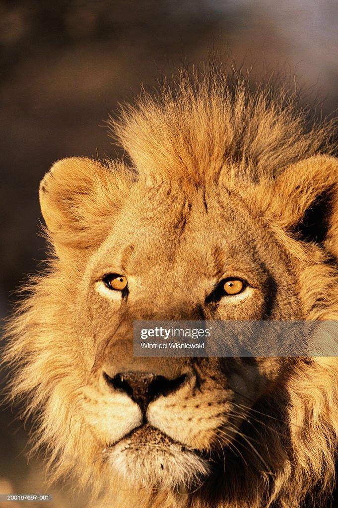 Male lion (Panthera leo), close-up : Stock Photo
